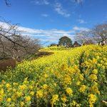ふき味噌を作って春を迎える(レシピ付)【チャイ処キングのナマステな日々】